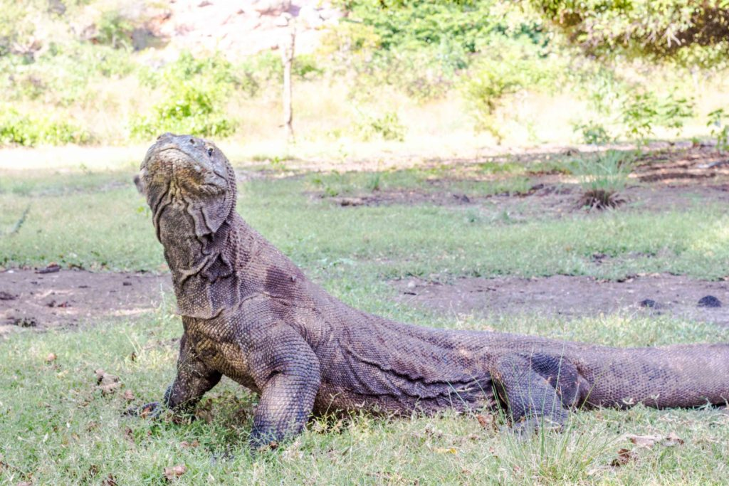 How To See Komodo Dragons Without An Expensive Tour Rooftop Antics