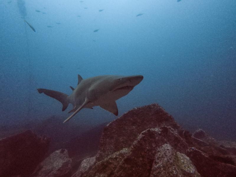 South_West_Rocks_Dive_Fish_Rock_Cave_grey_nurse_sharks_travelblog_marijsvrancken_rooftopantics
