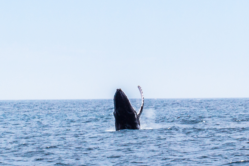 humpback-whale-montague-island-narooma-nsw-australia