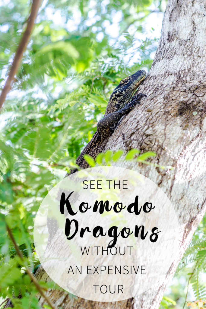 Visit the Komodo Islands without an expensive tour: Up close with the Komodo Dragons