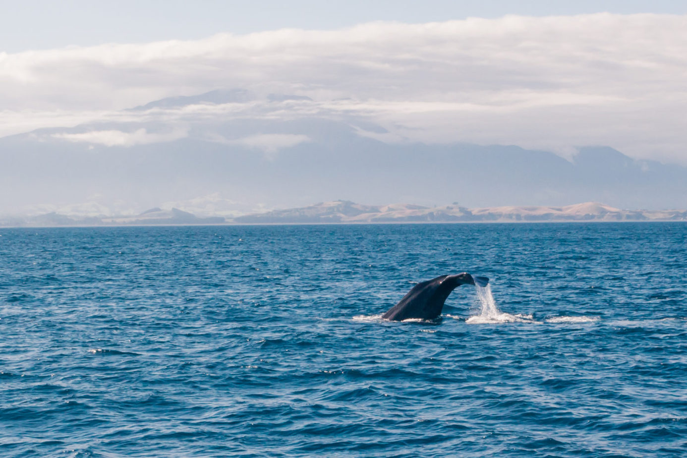 wildlife_in_New_Zealand_Kaikoura_visit_spermwhales_bluewhales_dolphins_wildlife