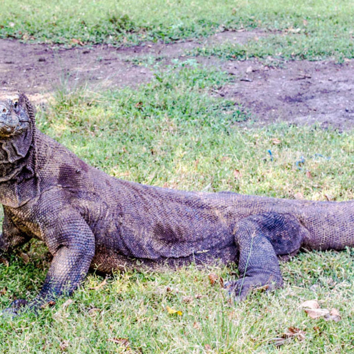Visit the Komodo Islands without an expensive tour: How to See the Komodo Dragons In Real Life!