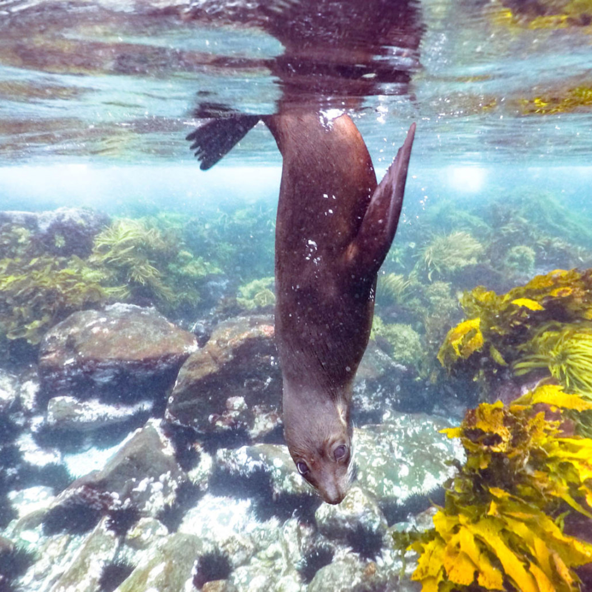 Snorkeling with Seals at Montague Island, NSW, Australia: The most affordable wildlife experience in Australia!