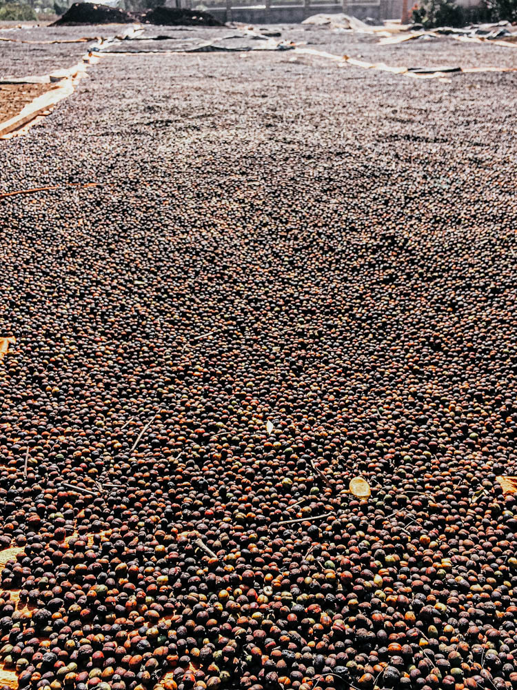 Coffee drying on the side of the road on the Thakhek Loop, Laos