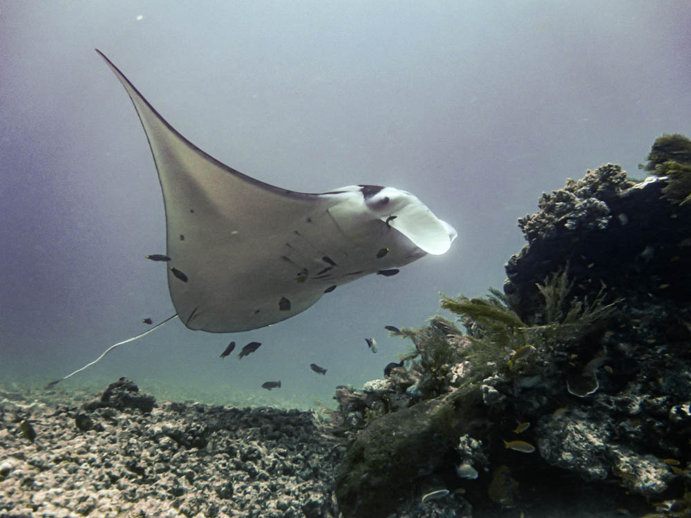 Manta Rays at Manta Point while scuba diving in Komodo National Park