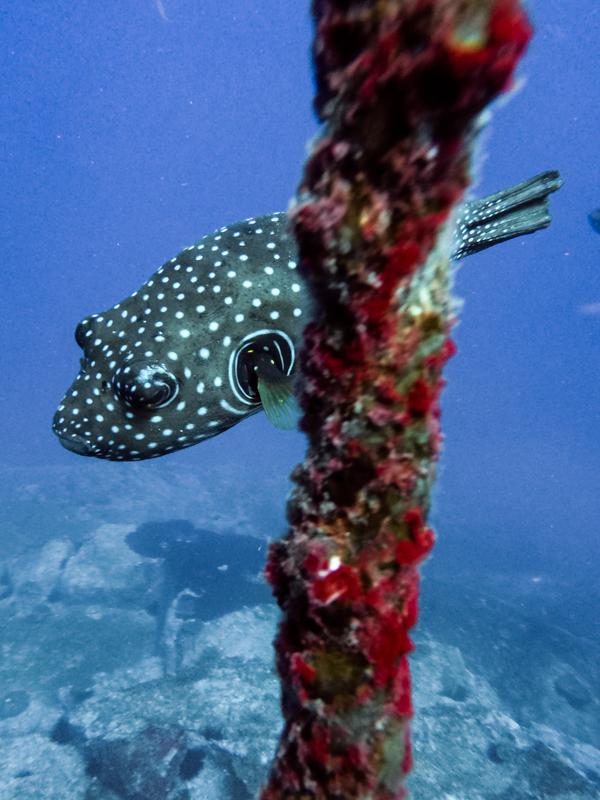 Boxfish at South West Rocks Dive