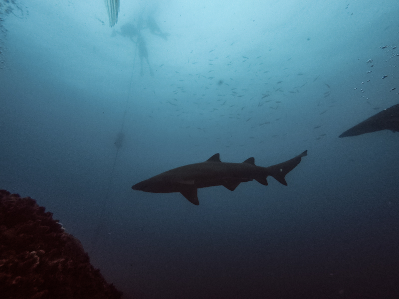 Two grey nurse sharks cruise by as scuba divers enter the water