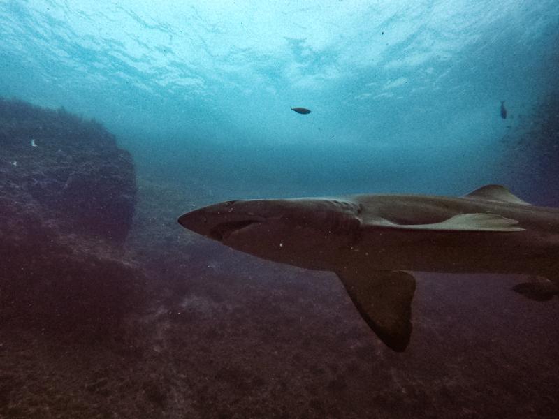 grey nurse shark swimming above scuba diver