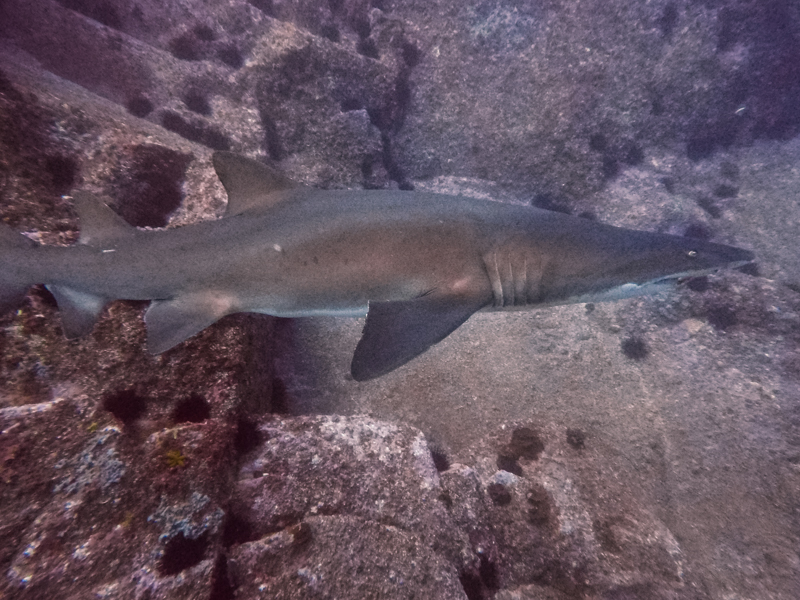 Grey Nurse Sharks swim happily up and down the gutters of Fish Rock