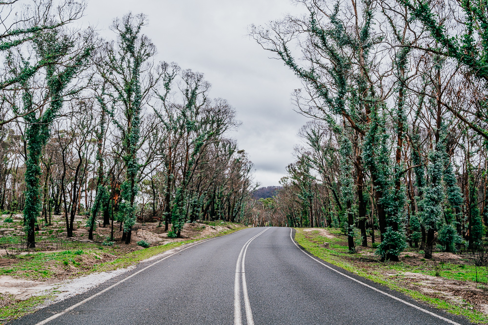 regeneration of the eucalyptus trees alongside a road in wollemi national park, NSW, after the bushfires of the summer 2019-2020