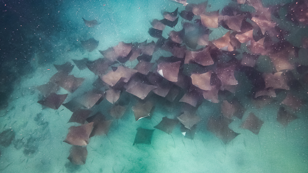 A fever of cownose rays spotted in Seal Rocks, NSW