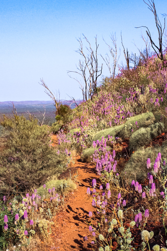 Wildflowers on Mount Bruce summit trail in Karijini National Park